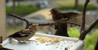 Hawfinch chick and female blackbird