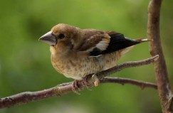 Hawfinch chick (Coccothraustes coccothraustes)