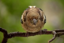 Baby hawfinch (Coccothraustes coccothraustes)