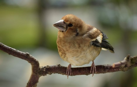 Hawfinch young (Coccothraustes coccothraustes)