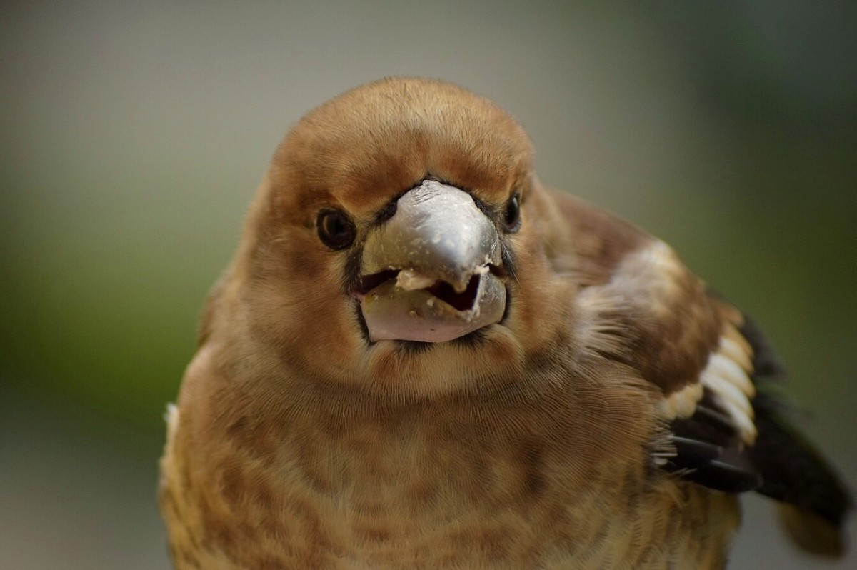 Hawfinch fledgling (Coccothraustes coccothraustes)