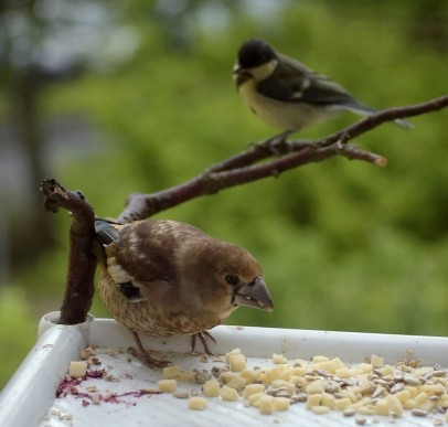 Hawfinch & great tit chicks