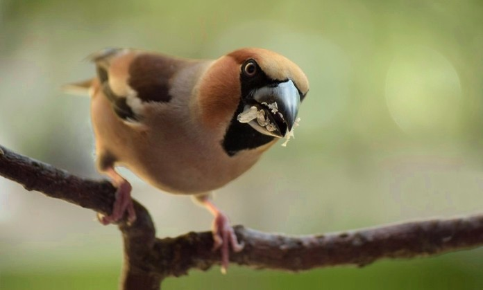 Adult hawfinch (male)