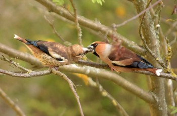 Male hawfinch feeding chick