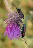Slender Scotch burnet (Zygaena loti)
