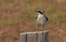 First time seeing a wheatear. Credit: Yalakom