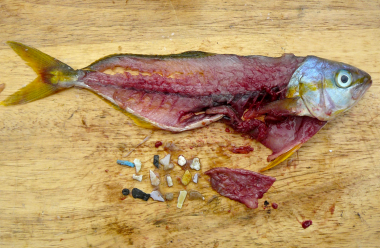 Rainbow runner fish with plastic in guts