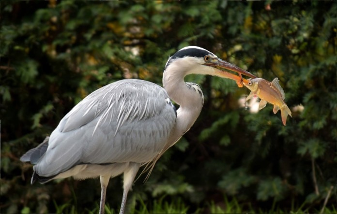 Grey heron with carp