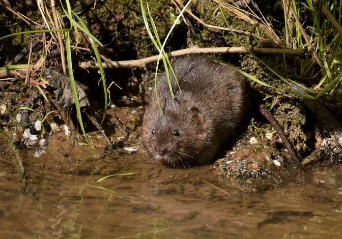 German water vole