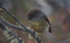 Female Tomtit, New Zealand