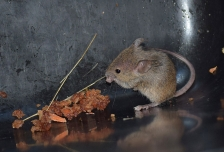 House Mouse, New Zealand (1)