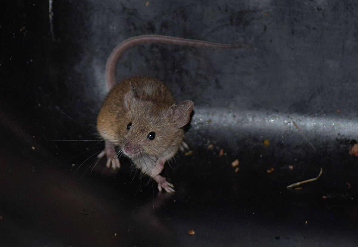 House Mouse, New Zealand (3)