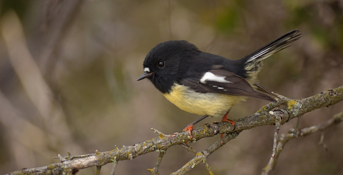 Adult male Tomtit, New Zealand
