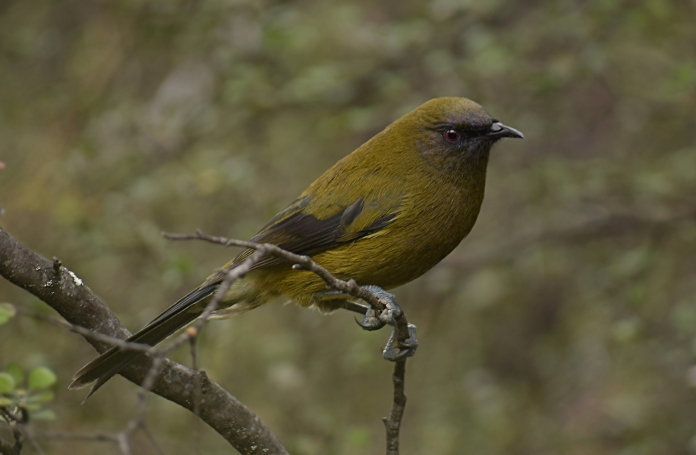 Adult male bellbird on Stevensons Island, Wanaka