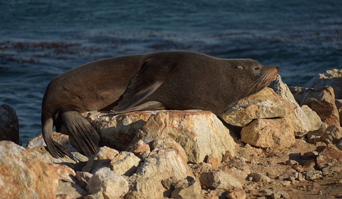 New Zealand fur seal, Dunedin