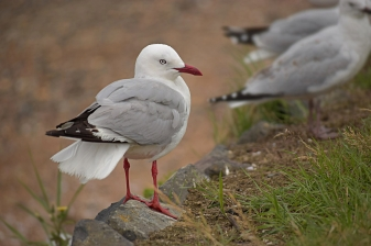 Red-billed gulls, New Zealand
