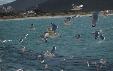 Swarm of gulls and terns, Aramoana mole