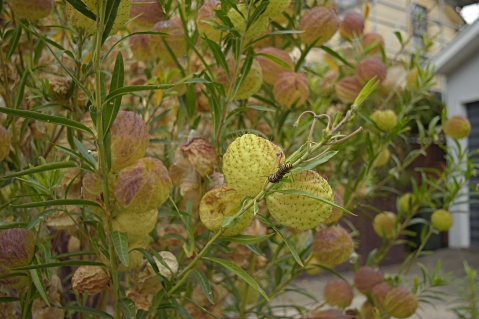 Ballon-cotton bush (Gomphocarpus physocarpus)
