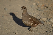 Female Californian Quail, New Zealand
