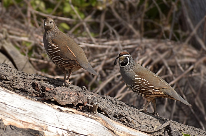 Californian quails, New Zealand
