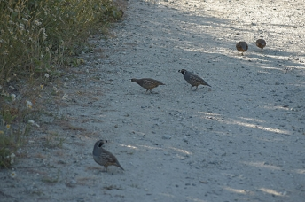 Californian Quails, Queenstown, New Zealand