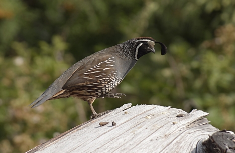 Male Californian Quail, New Zealand