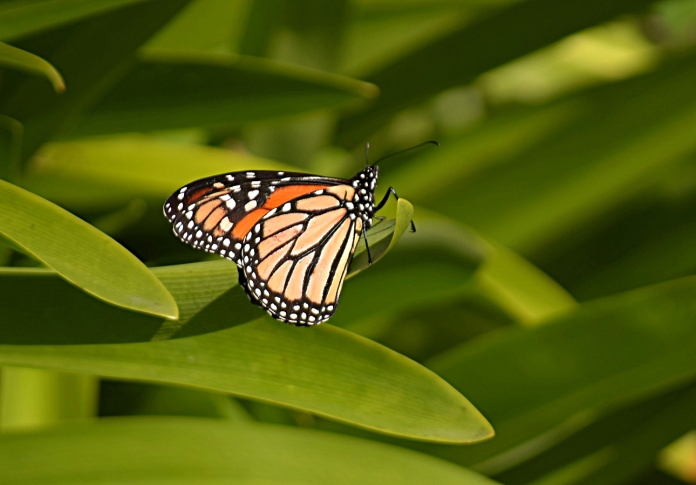 Male monarch butterfly (Danaus plexippus)