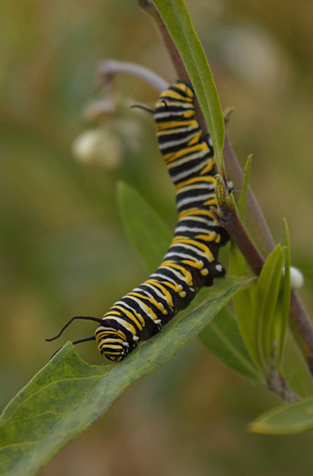 Fifth instar Monarch larvae | Yalakom