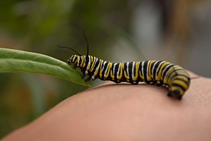 Monarch caterpillar (Danaus plexippus)