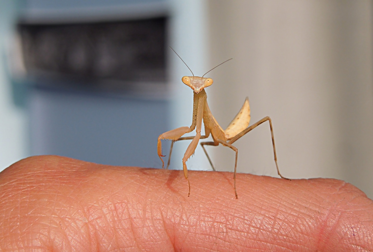 African Mantis (Miomantis caffra), New Zealand