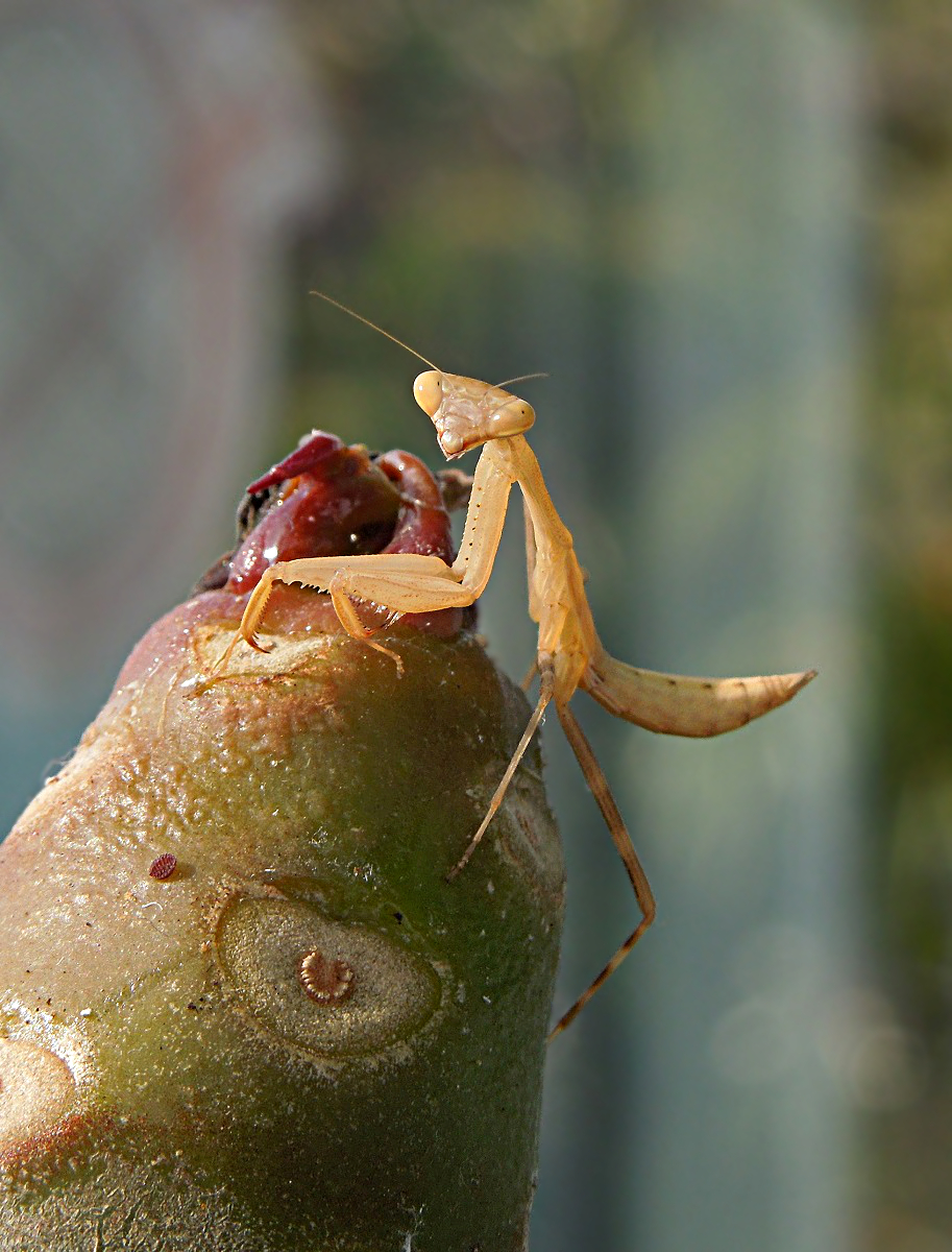 Young African Mantis (Miomantis caffra), New Zealand