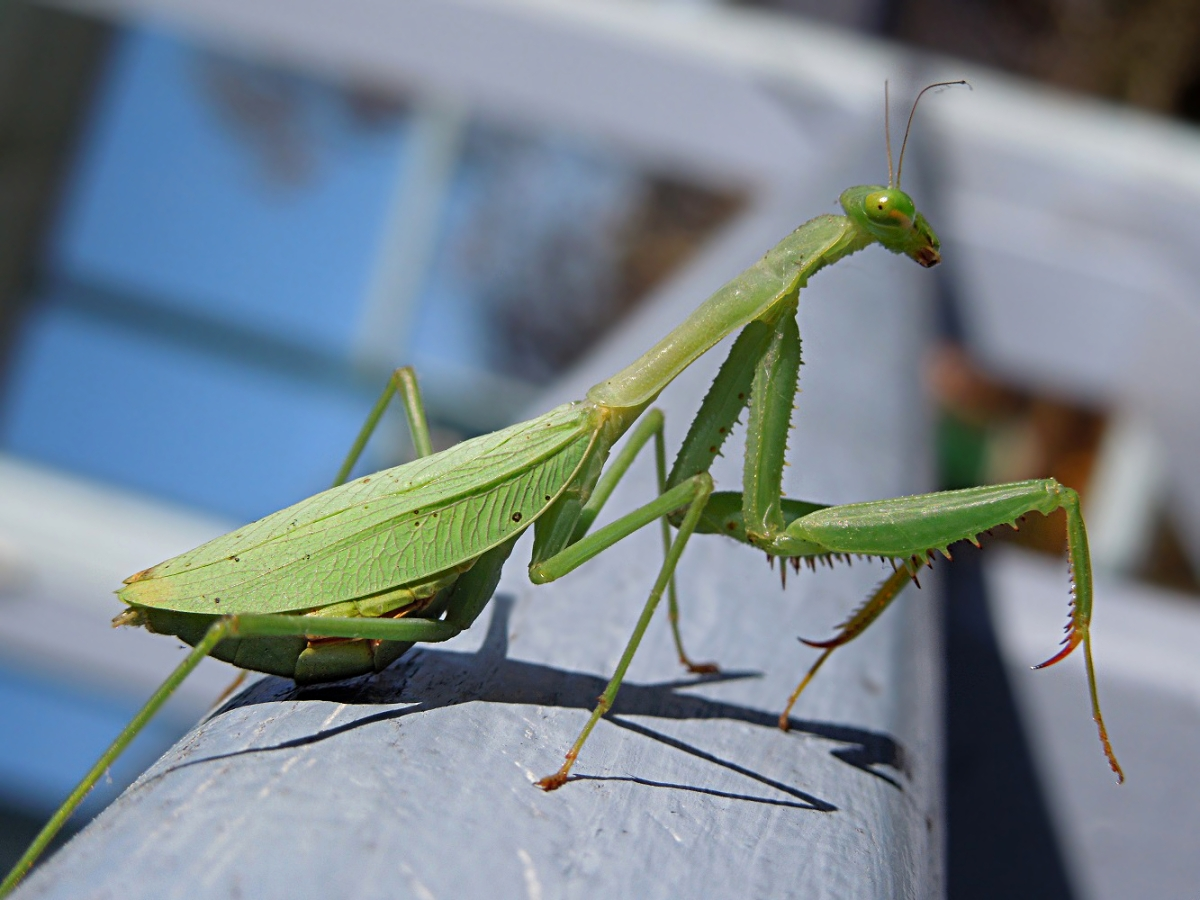 Female African Mantis (Miomantis caffra), New Zealand