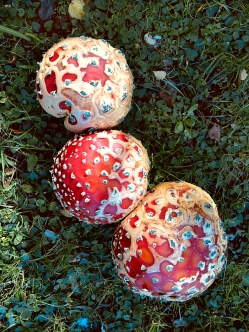 Fly agarics (Amanita muscaria)